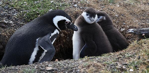 1024px-Magellanic_Penguin_with_chicks_(5540843327)