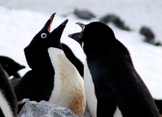 Penguins have unique voice not unlike human fingerprints