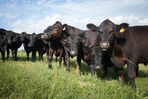 cows-cattle-like-mammal-herd-pasture-grazing-grassland-dairy-cow-grass-dairy-rural-area-cow-goat-family-farm-livestock-agriculture-ranch-fodder-calf-field-1443689