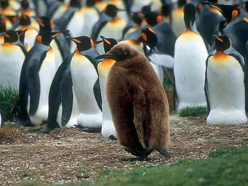 Magellanic species of penguins are listed as near threatened by IUCN
