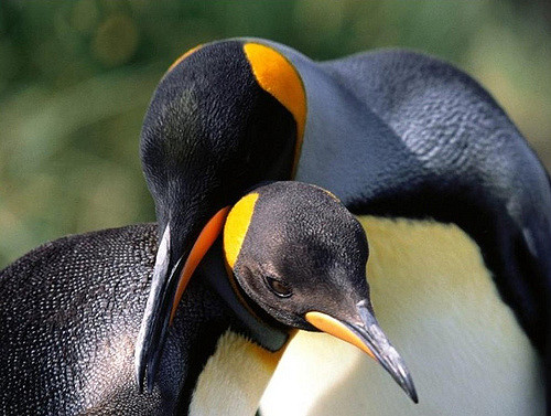 Magellanic penguins mate with the same partner year after year