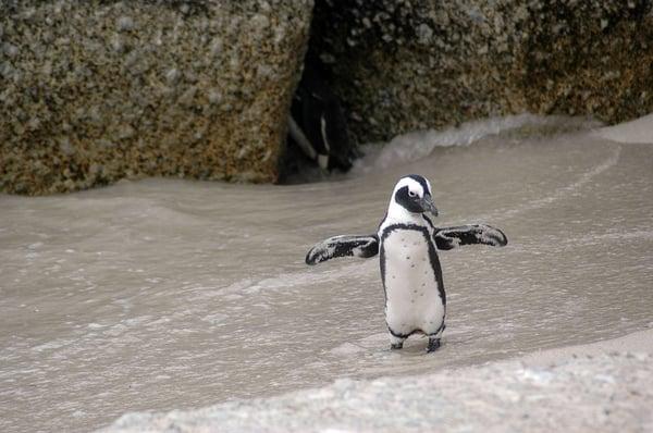 magellanic-penguin-216080_960_720