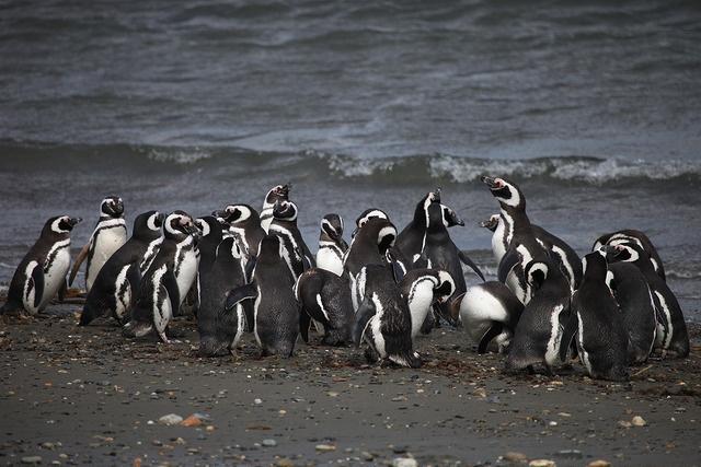 Tuxedo wearing black and white penguins