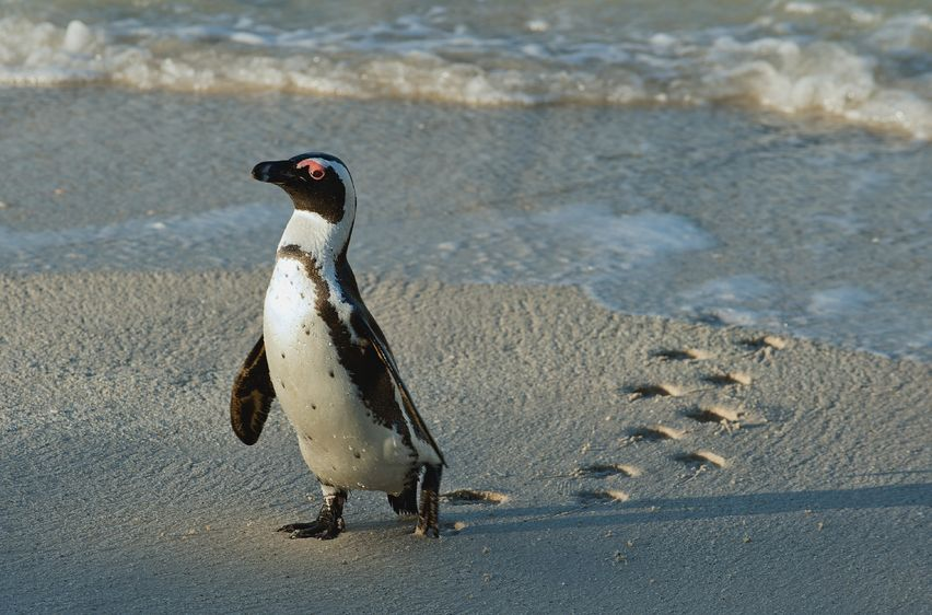 Penguin at the Beach